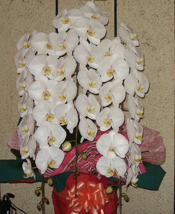 【開店のお祝いなどに】胡蝶蘭 3本立ち