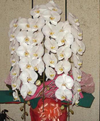 胡蝶蘭 2